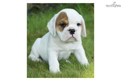 beabull puppies beabull puppy for sale near springfield missouri 7d273a51 03f1