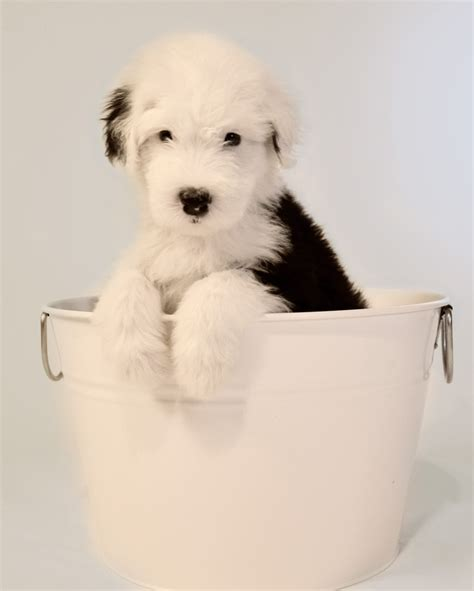 sheep doodle puppy 212 best images about sheepdogs pleaseeee and other favourites on