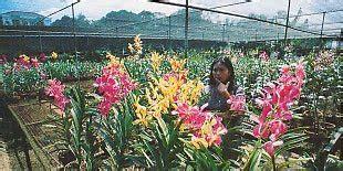 Tanaman Bunga Anggrek Tanah All Tipe 1 budidaya tanaman budidaya tanaman anggrek