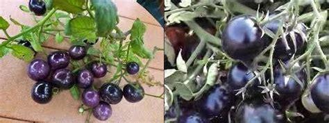 Benih Tomat Blue Tomat Unik Tomat Hias Tomat Impor jual blue tomato seeds tomat biru ayo berkebun