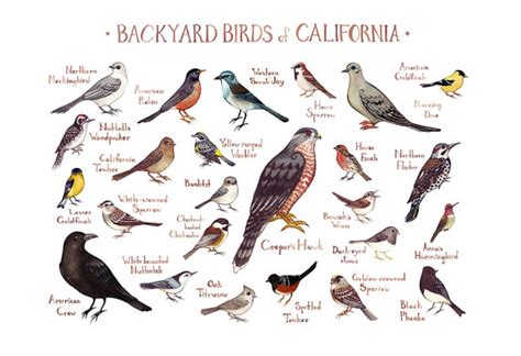 california backyard birds field guide art print watercolor