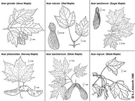 leaf identification coloring pages southern forager urban foraging food in plain sight