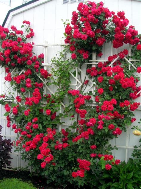 tips on planting quot climbing roses quot on a rose trellis my spring rose cut cut and keep climbing roses interior