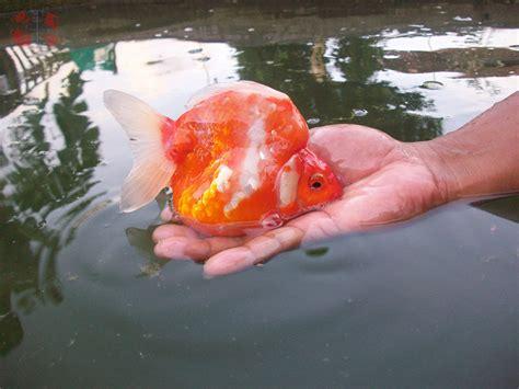Bibit Ikan Koi Jawa Timur pemilihan indukan ikan koki tirta kencana agung