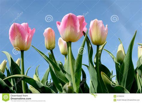 imagenes tulipanes naturales paisaje hermoso con los tulipanes rosados contra el cielo