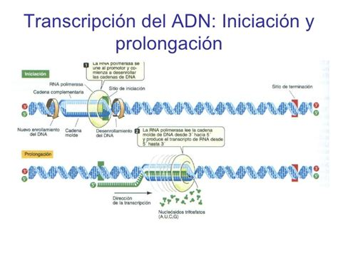 cadena molde de adn transcripcion transcripcion