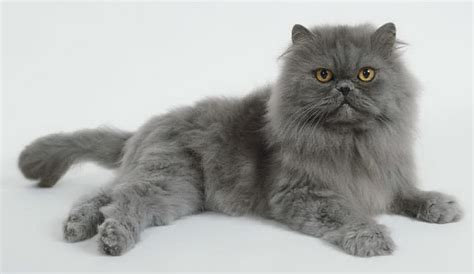 Balmut Mini Karakter Blue Trivia cat pictures personality and how to care for your cat