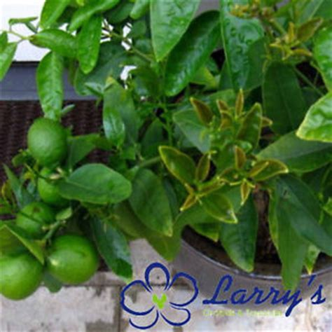 mexican key lime tree potted citrus patio