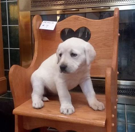 yellow lab puppies ohio for sale labrador retriever puppies for sale