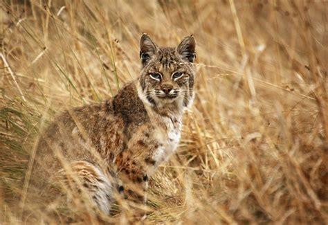 lince rojo fotos del lince rojo enciclopedia animal animales del desierto bobcat o