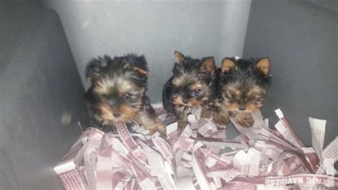 baby yorkies for sale teacup baby yorkies for sale in chula vista california classified