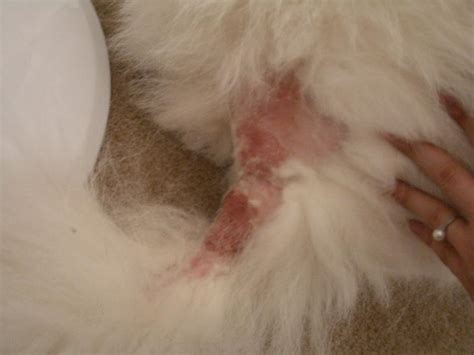 staph infection in dogs s staph infection by equisetum bogotense on deviantart