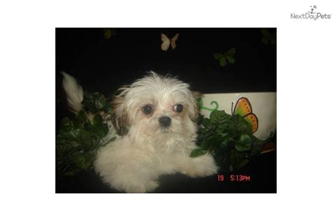 shih tzu puppies nyc shih tzu puppy for sale near island new york 4280828c d9c1