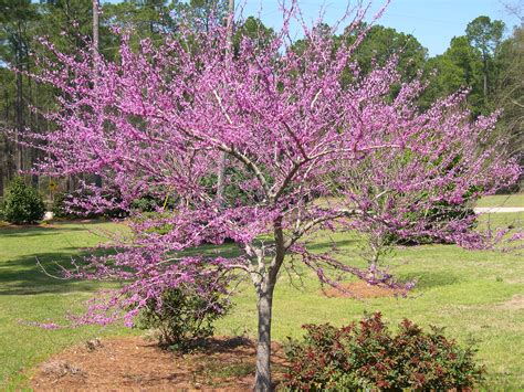 Decorative Trees For Home redbud forest pansy