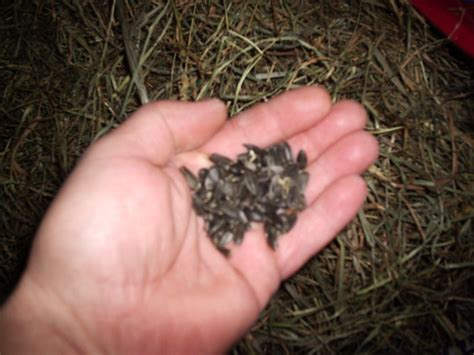 untreated black sunflower seeds feeding rabbits black sunflower seeds rise and shine rabbitry