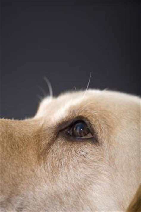 dilated pupils in dogs dogs health what are the causes of enlarged pupils in a