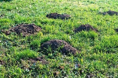 talpe nel giardino rimedi come liberarsi dalle talpe