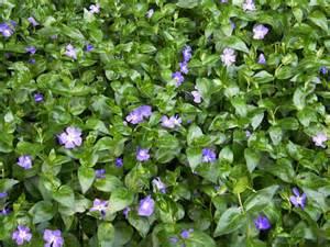 vinca major periwinkle flat plantclearance com