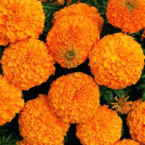 marigolds shade shades tints of orange