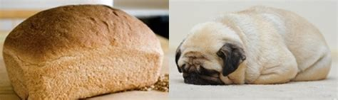 pug bread 10 pugs that look like things pleated