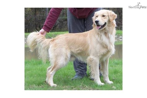 golden retriever new york golden retriever puppy for sale near binghamton new york f8925be8 3c31