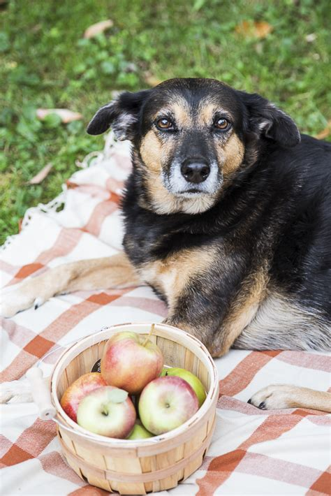 apples for puppies diy dehydrated apple chips for dogs daily tagdaily tag