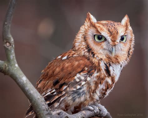 what color are owls eastern screech owl by ryangallagherart on deviantart