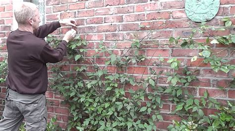 how to clematis on wires on a wall