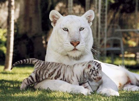 imagenes panteras blancas lista los animales mas hermosos del mundo parte1