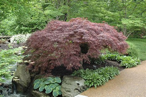 red select japanese maple acer palmatum red select in long island westbury nassau county