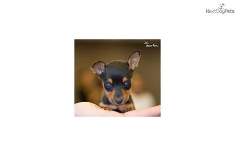 teacup miniature pinscher puppies for sale teacup miniature pinscher puppies for sale breeds picture