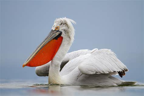 Vigel Pelicin krauskopfpelikan pelecanus crispus dalmatian pelican