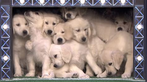 jimmy fallon puppies jimmy fallon unleashes the hounds lets puppies predict the bowl today