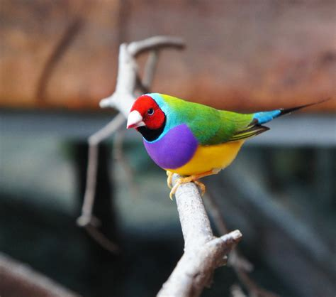 aviary lighting for finches gouldian finch pixshark com images galleries