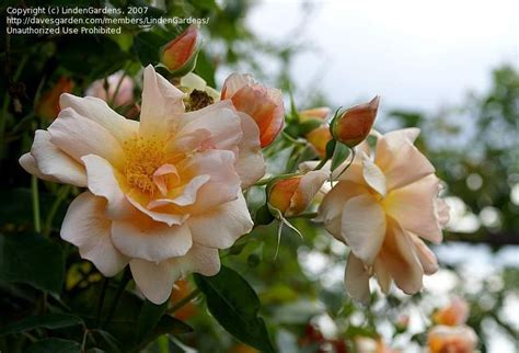 fiori d arancio sezze rosa antica per arco forum di giardinaggio it