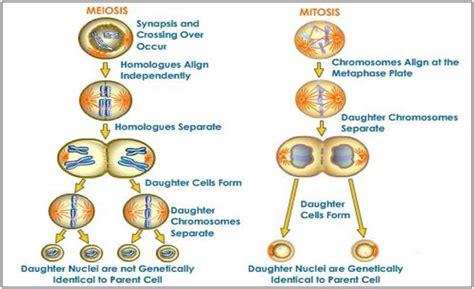 mitosis flowchart pin mitosis chart on