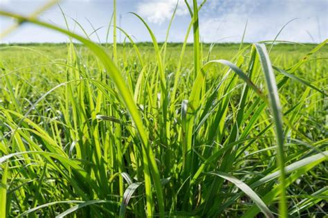 allergic to grass allergy to wheat grass livestrong