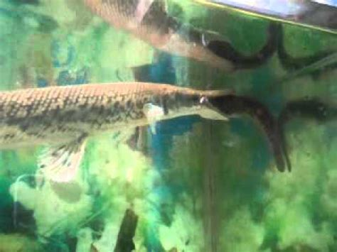 Ikan Aligator Spatula ikan aligator makan lele