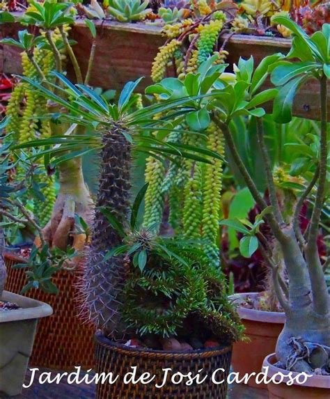 Pachypodium Lamerei Forma Cristata 17 best images about cristatas on blue candles