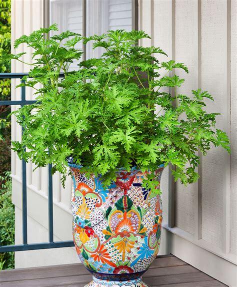 mosquito plant citronella bonnie plants