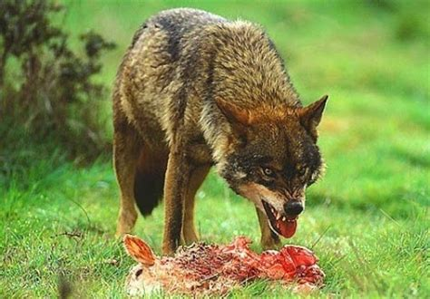 el lobo de los j 243 venes exploradores de la naturaleza 191 qu 201 come el lobo