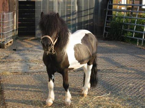 Zu Kaufen by Shetlandponys Zu Verkaufen In Freckenfeld Pferde Kaufen