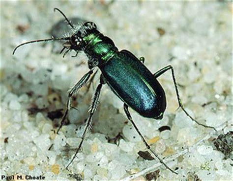 Carabidae   Ground beetles    Discover Life mobile