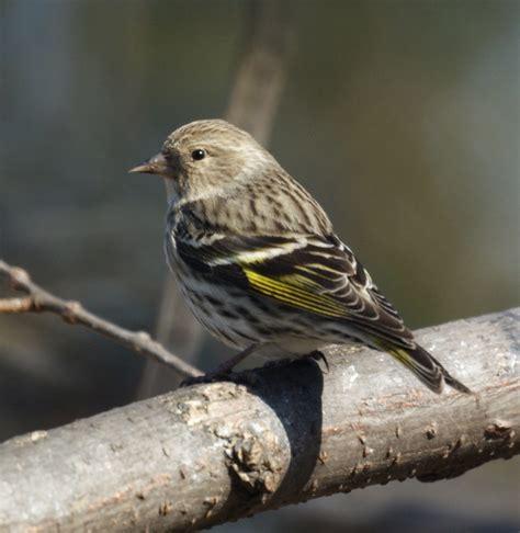 more winter birds pine siskin downy woodpecker