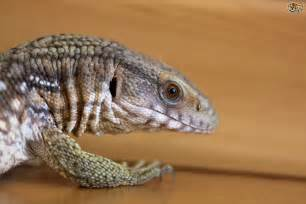 keeping a monitor lizard pets4homes