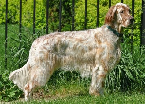 setter dogs setter breed remarkable dogs