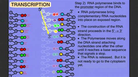 8 protein synthesis steps protein synthesis stage 1 transcription