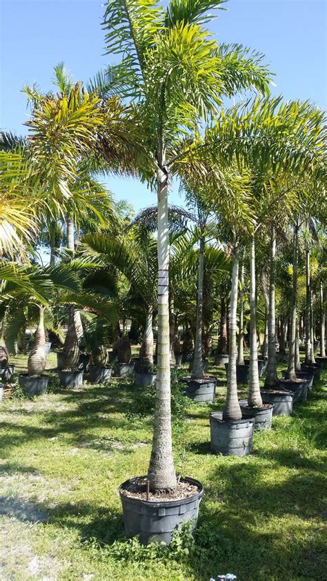 wholesale real trees 52 best images about florida wholesale plant nursery