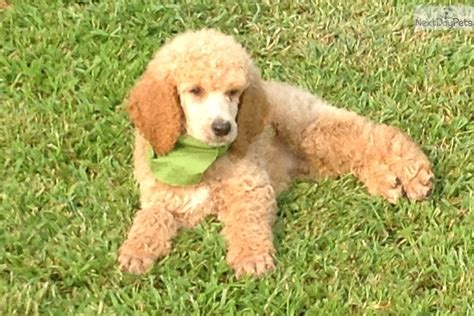 poodle puppies for sale near me poodle standard puppy for sale near springfield missouri 149cc1c6 98a1
