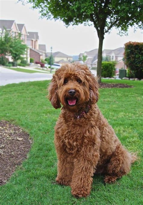 goldendoodle puppy growth 17 best ideas about goldendoodle temperament on